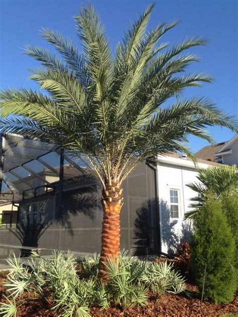 17 best images about palm trees in landscape design on pinterest lush chinese fan palm and