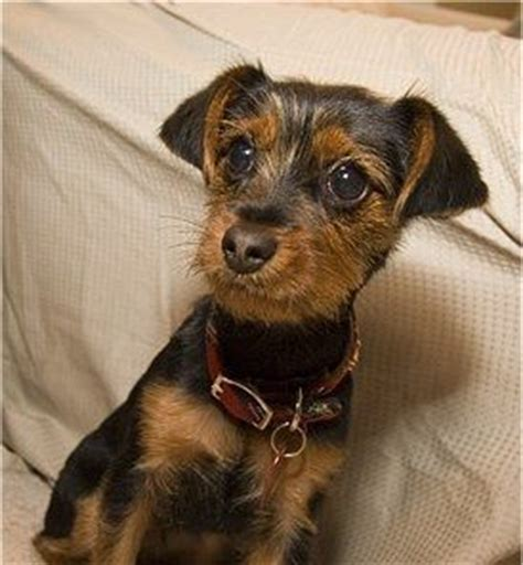 short haired dorkie mixes 17 best images about cute dorkie on pinterest yorkie