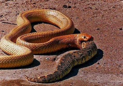 Animal World Snakes what animals eat snakes quora