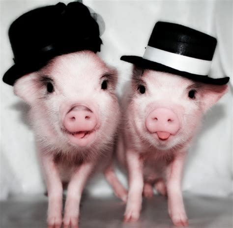Pin Monokuro Boo Babi Pig pictures of baby pigs baby pigs wearing clothes might be the web s cutest