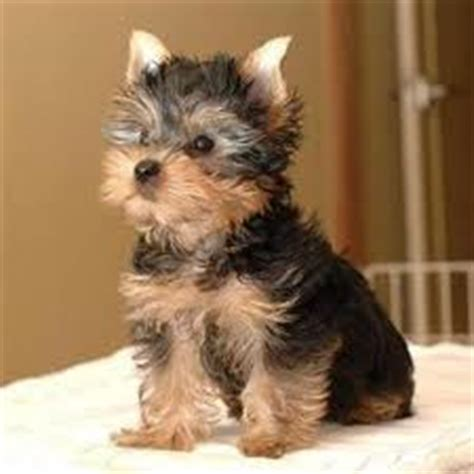 How To Keep Dog From Barking by Yorkie Poo Dogs Discovered Com