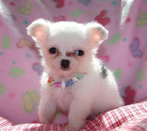 chihuahua puppies for sale in pa 8 chiuaua puppies for sale in pa in biological science picture directory