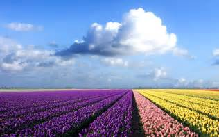 tulip fields wallpapers netherlands flower fields