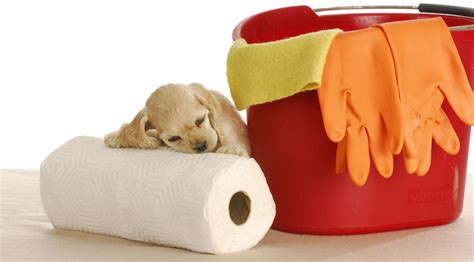 how to housetrain a puppy how to housebreak a puppy patience praise and persistence