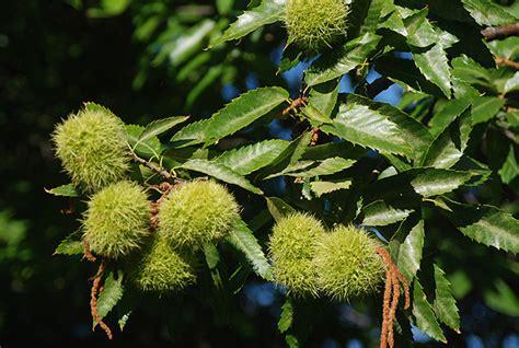 fruit tree nursery oregon castanea mollissima landscape plants oregon state