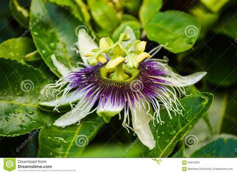 fiore frutto della passione fiore di una pianta di frutto della passione fotografia