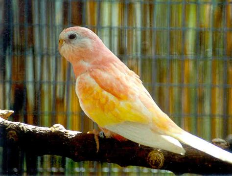 birds for sale san diego male red rump parakeet outback aviaries
