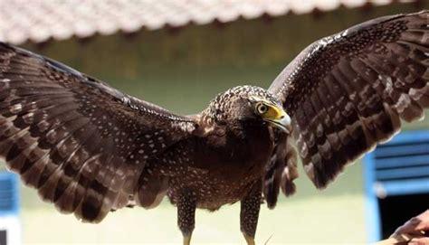 Jual Pakan Burung Elang bksda jawa timur gagalkan perdagangan elang ular bido