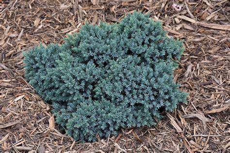 Juniper Designs Oh 15 by Blue Juniper Juniperus Squamata Blue In