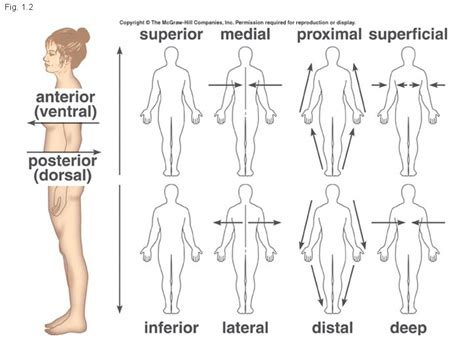 sections of the body anatomy anatomical directions medial lateral thebody as a whole