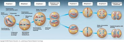 phases of meiosis diagram image gallery meiosis stages