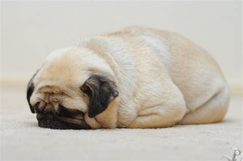 Depressed Pug Meme - face down pug pictures photos and images for facebook