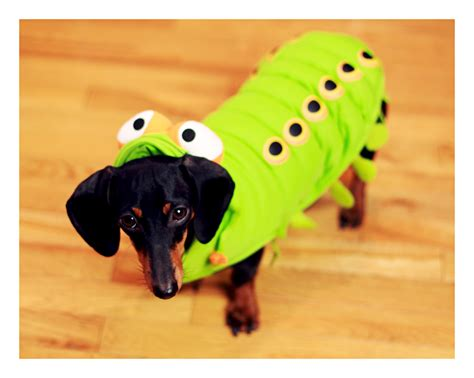 costume for dachshund dachshund costumes breeds picture