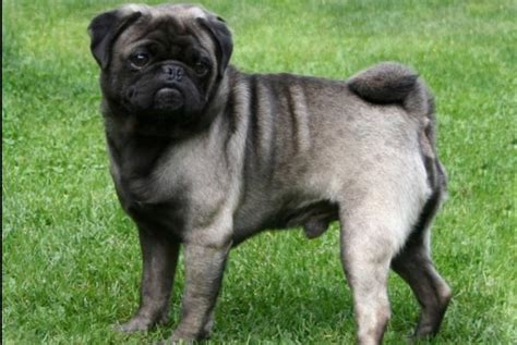 pug colors silver fawn 15 facts about pugs three million dogs