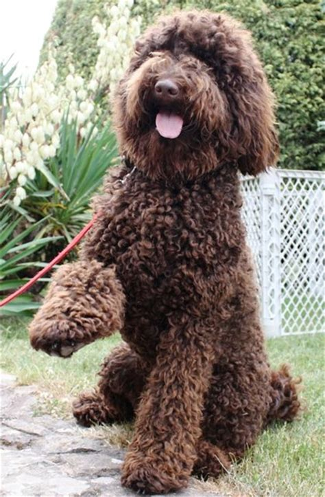 doodle labs 25 australian labradoodle puppies you will fallinpets