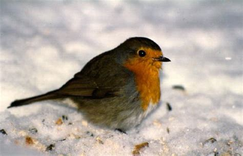 the robin in ireland