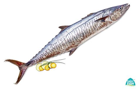 buy seer fish  aiykoora neymeen surmai anjal