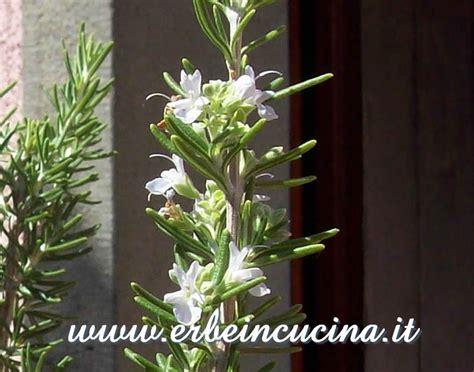 fiori di rosmarino erbe in cucina fiori di rosmarino