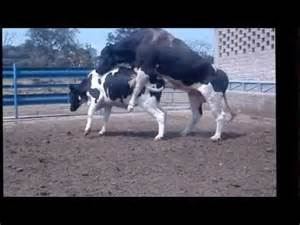 Inseminaci 243 n artificial de bovinos y monta directa