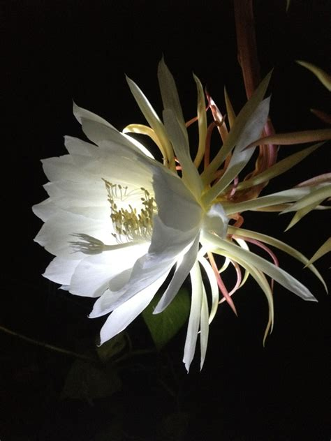 flowers that bloom at night pin by deborah calhoun on night blooming cereus pinterest