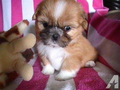puppies for sale in san angelo tx akc shih tzu puppies beautiful colors for sale in san angelo images frompo
