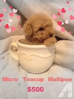 teacup teddy puppies teacup teddy maltipoo puppies for sale in la verne california classified