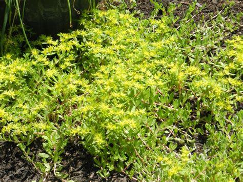 sedum very good ground cover flower bed plants pinterest