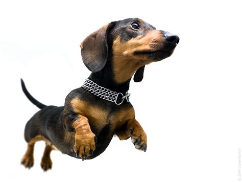 decke hund paws dachshund rescue people4dogs