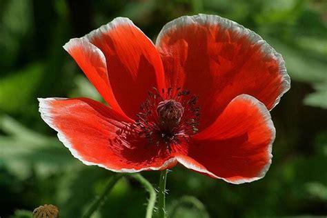 papavero fiore papavero rosso fiori di co caratteristiche papavero