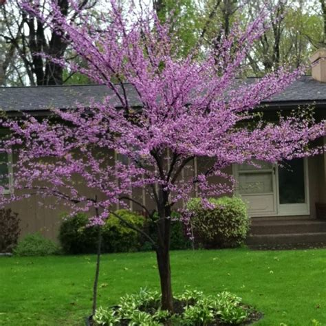 eastern redbud tree beautiful and just a baby outdoor