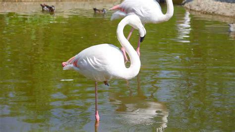 flamingo white white flamingo are fed on shoal stock footage