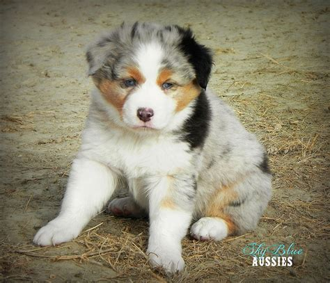 australian shepherd colors australian shepherd colors aussie color chart and