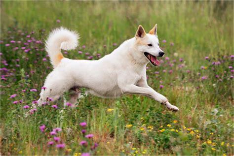 canaan puppies canaan breeders puppies facts pictures temperament price animals breeds