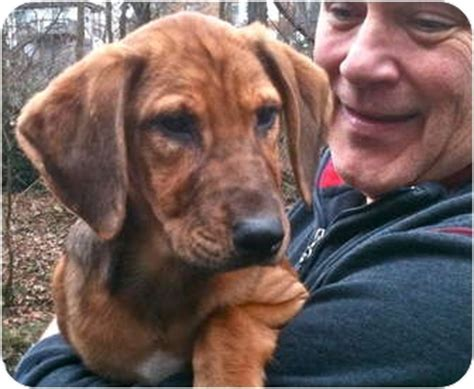 bloodhound golden retriever mix golden hounds one left adopted puppy cincinnati oh golden retriever