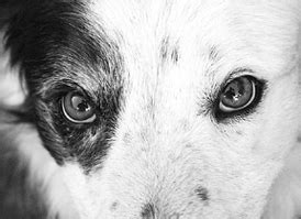 how much is cataract surgery for dogs dogs and the onset of eye disease healthy club