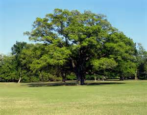 Live Oak Why Did Southern Plantation Owners Plant Oaks Along Their