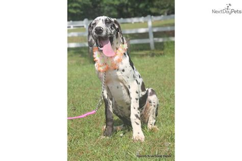 great dane puppies near me great dane puppy for sale near dothan alabama 3286c5fc 12d1