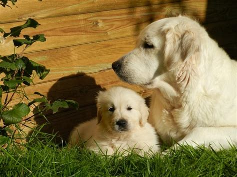 what age do golden retrievers stop growing iheartdogs because every matters