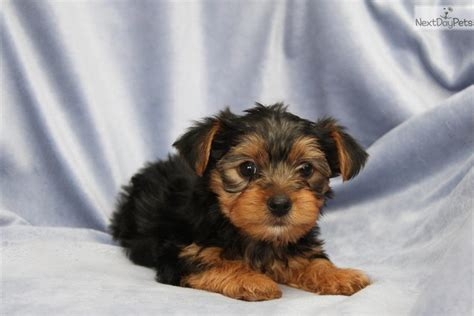 yorkies for sale in lancaster pa carl yorkie