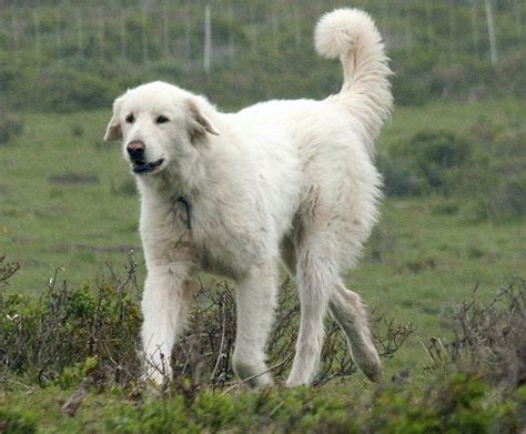 maremma golden retriever mix file turkish akbash jpg wikimedia commons