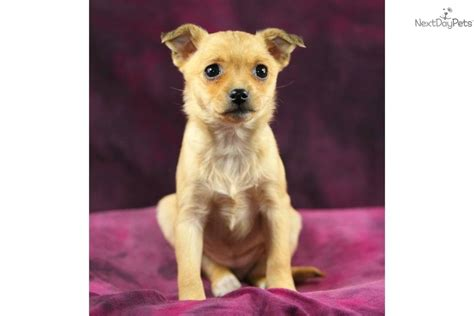 rat terrier pomeranian mix rat terrier pomeranian mix puppies image gallery breeds picture