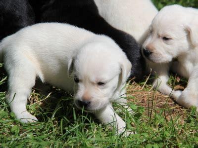 golden retriever for sale vancouver labrador retriever breeders vancouver island bc merry