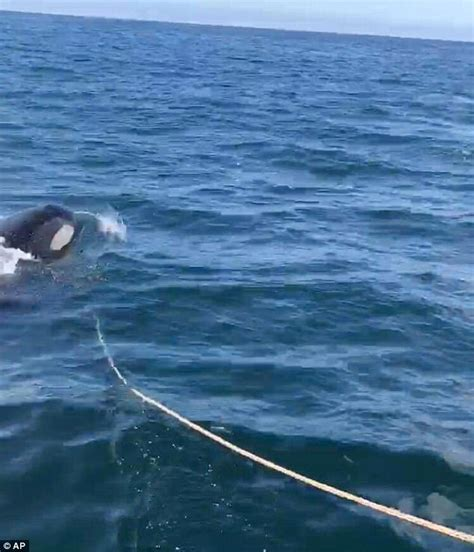 fishing boat attack alaska man says boat was attacked by orca during fishing
