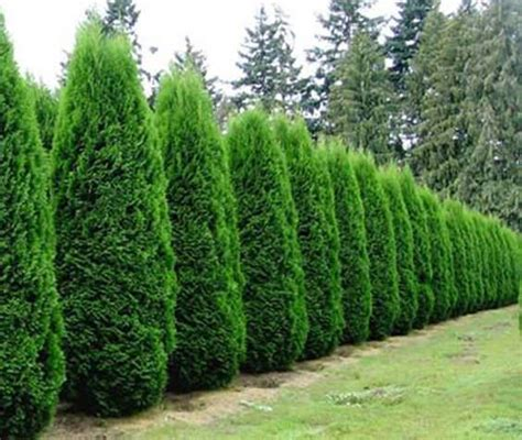 Wonderful 4 Foot Slim Christmas Tree #6: Privacy-with-plants-7.jpg