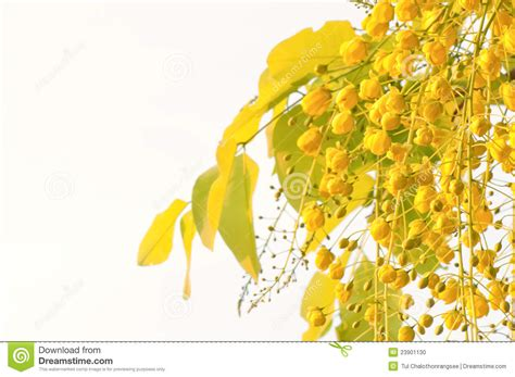 What Is The Golden Shower by Flowers Of Golden Shower Tree Stock Photo Image 23901130
