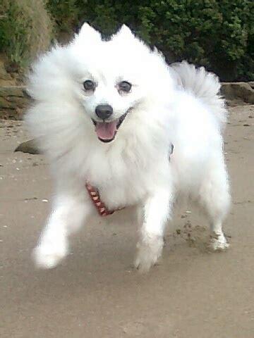 eskimo spitz puppies japanese spitz american eskimo breeds picture