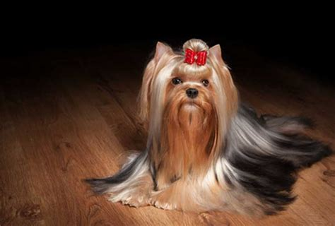 hotels that allow dogs near me yorkie breeders near me puppies for sale 702 789 7892 gorjesspets