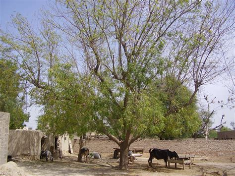 file animal section in a rural punjabi home jpg