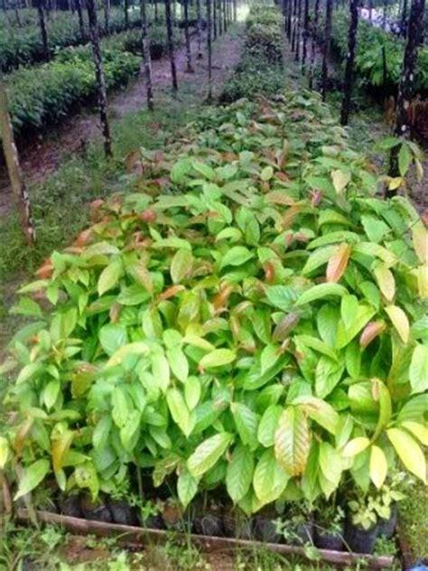 Bibit Ulin budidaya cara pembibitan pohon kayu ulin