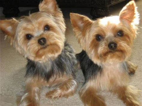 yorkie poo grooming styles 1000 images about yorkie on yorkie yorkies and terrier